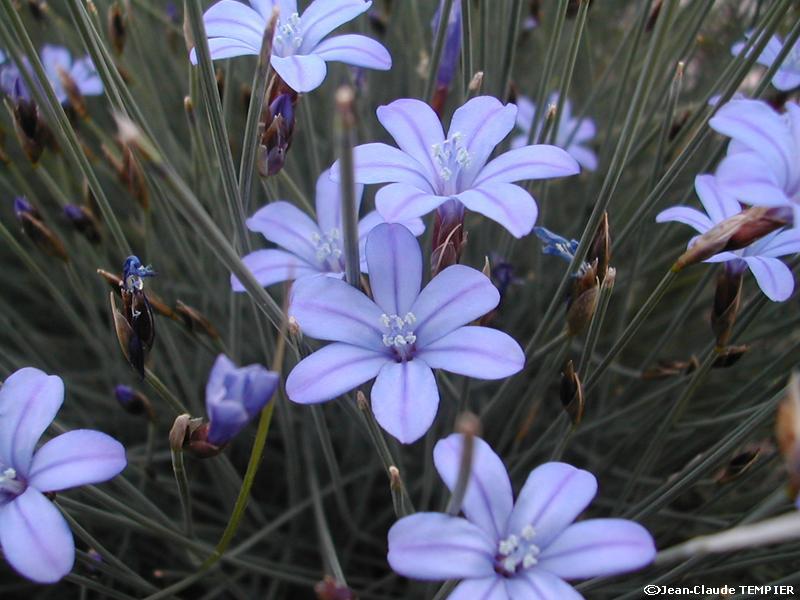 Aphyllanthe de Montpellier (détail)