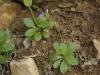Arabette du printemps
