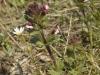 Euphragie à larges feuilles