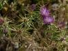 Centaurée chausse-trappe