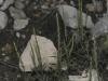 Crucianelle à larges feuilles