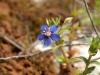 Mourron bleu