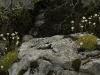 Saxifrage faux hypne