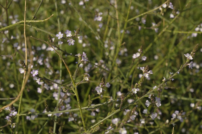 Verveine officinale