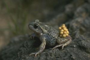 Crapaud-accoucheur-male