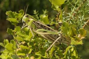 C. migrateur
