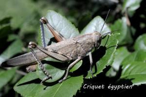 Criquet égyptien-2