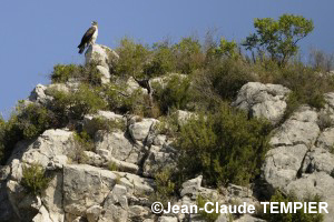 Aigle de Bonelli au repos