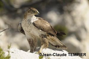 Aigle de Bonelli, femelle adulte