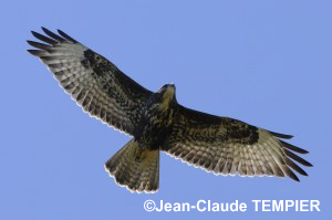 Jeune Buse variable